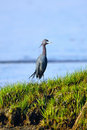 Free Little Blue Heron Royalty Free Stock Photography - 19439207