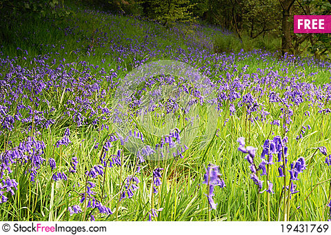 Free Bluebells Royalty Free Stock Images - 19431769