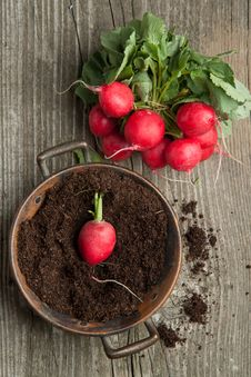 Free Fresh Radishes Royalty Free Stock Photo - 19430135