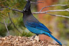 Free Blue Jay No.1 Royalty Free Stock Photo - 19431195