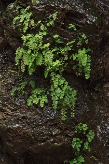 Black Wet Rock Covered With Green Plants Royalty Free Stock Images