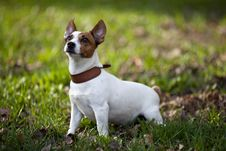Free Jack Russel Terrier Stock Photos - 19431763