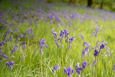 Free Bluebells Stock Images - 19431804