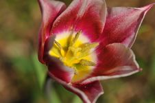 Free Tulip Blossom Stock Photos - 19432063