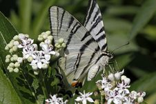 Scarce Swallowtail Butterfly In Summer, Italy Stock Photos
