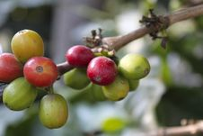 Free Coffee-tree. Guatemala Coffee Royalty Free Stock Photo - 19432905