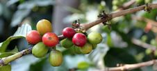 Free Coffee-tree. Guatemala Stock Images - 19432984