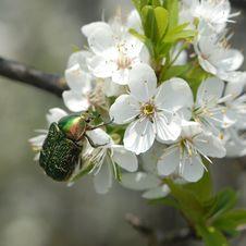 Green Beetle On Cherry Petals Stock Photo