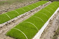 Free Rice Seedlings Stock Photo - 19434520
