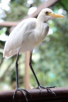 Free Great White Egret Stock Photography - 19434672
