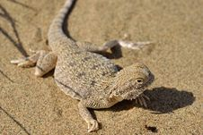 Free Secret Toad-Headed Agama Stock Photo - 19435140