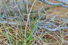 Free Steppe Ribbon Snake Royalty Free Stock Image - 19435156