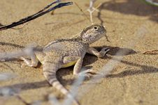 Secret Toad-Headed Agama Stock Images