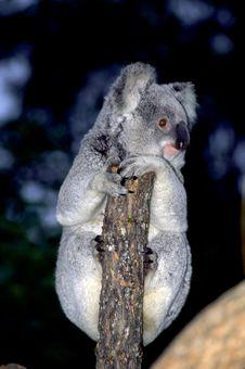 Free Koala Stock Photography - 19435622