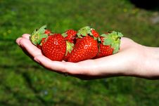 Free Fresh Strawberries In Hands Stock Photography - 19435902