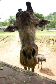 Free Giraffe Royalty Free Stock Photography - 19436607