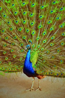 Free Magnificent Peacock Royalty Free Stock Images - 19438079