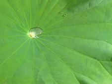 Free Water Drops On Lotus Leaf Royalty Free Stock Image - 19439176