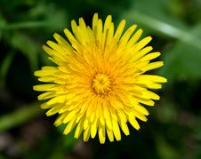 Free Top View Of Yellow Dandelion Flower Stock Images - 19439314