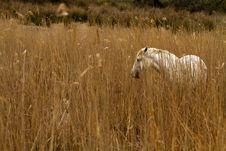 Free Camargue White Horse Stock Image - 19439411
