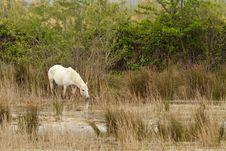 Free Camargue White Horse Stock Image - 19439571
