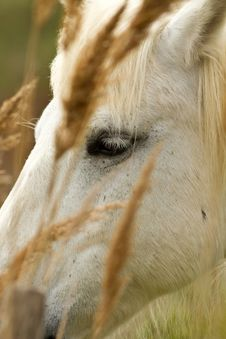 Free Camargue White Horse Royalty Free Stock Photo - 19439665