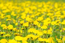 Free Dandelions Royalty Free Stock Photo - 19439985