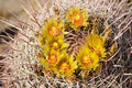 Free Barrel Cactus In Bloom Royalty Free Stock Photos - 19440358