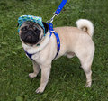 Free Pug With A Cap And Blue Collar Stock Image - 19441321