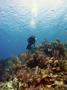 Free Scuba Diver Over A Cayman Island Reef Stock Image - 19443291