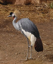 Free African Crowned Crane Stock Photos - 19447173