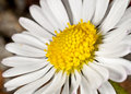 Free Bellis Perennis, Daisy Flower Royalty Free Stock Images - 19447449