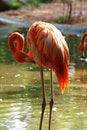 Free Flamingos Stock Photo - 19447550