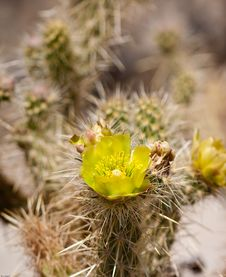 Free Wolf�s Cholla Cactus Flower Royalty Free Stock Images - 19440189