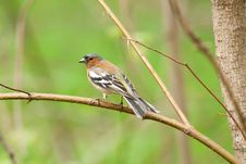 Free Finch On A Branch Stock Photos - 19440843