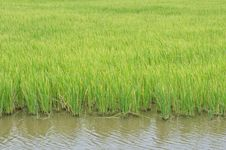 Free Rice Field Royalty Free Stock Photo - 19440995