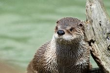 Otter Close Up Royalty Free Stock Photos