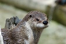 Otter Close Up Royalty Free Stock Images