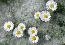 Free Daisy Flowers Royalty Free Stock Photos - 19441658
