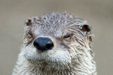 Free Otter Close Up Stock Photos - 19441673