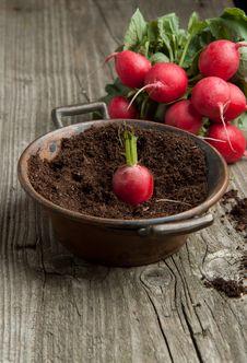 Fresh Radishes And Radish In Soil Royalty Free Stock Photography