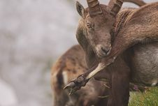 Free Ibex Royalty Free Stock Photography - 19443367
