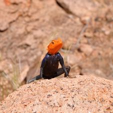 Orange Headed Agama Royalty Free Stock Images