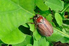 Free Chafer Beetle Royalty Free Stock Photos - 19443638