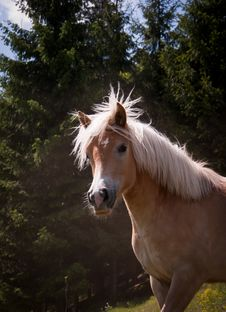 Free Horse Royalty Free Stock Photography - 19443897