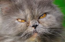 Free Head Young Fluffy Cat Closeup Stock Photo - 19444220