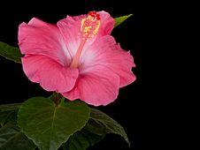 Hibiscus Pink Black Background Stock Photo