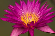 Free Close Up Of Pink Water Lily Royalty Free Stock Photography - 19445627