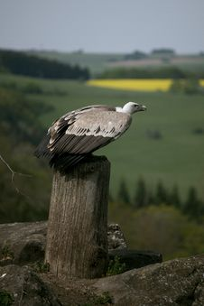 Sitting Griffon Vulture Stock Images