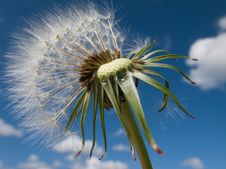 Dandelion Parachutes Stock Photos